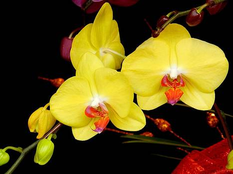 Taiwanese yellow butterfly orchids Taiwan by Sandra Sengstock-Miller