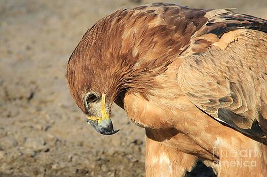 Hermanus A Alberts - Take a bow - Tawny Eagle