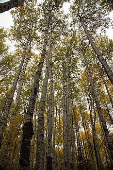 Tall Birch by Gerald Murray Photography