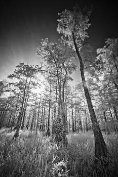 Tall Cypress Trees by Bradley R Youngberg