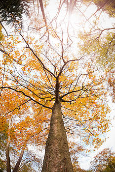 Tall Fall Trees by Sharon Dominick