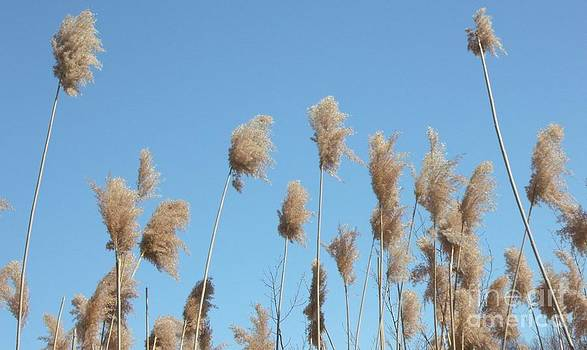 Gail Matthews - Tall feathered Grass hits sky