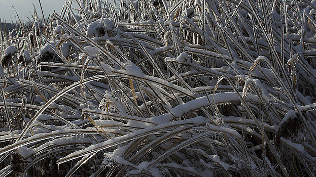 Tall Grass in Ice by Gerald Murray Photography