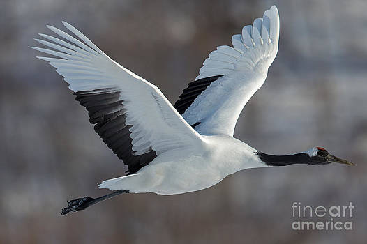 Tanchou in Flight by Natural Focal Point Photography