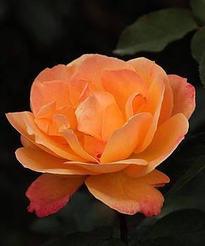 Rosanne Jordan - Tangerine Rose