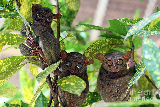 Tarsier by Lars Ruecker