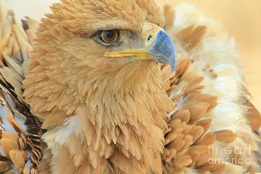 Hermanus A Alberts - Tawny Eagle - Anger Management