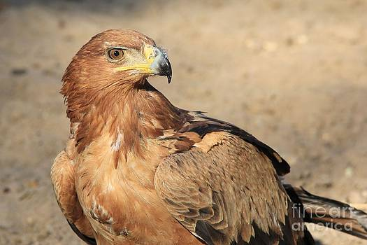 Hermanus A Alberts - Tawny Eagle - Detail of a Master