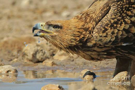 Hermanus A Alberts - Tawny Eagle - Drink of Life