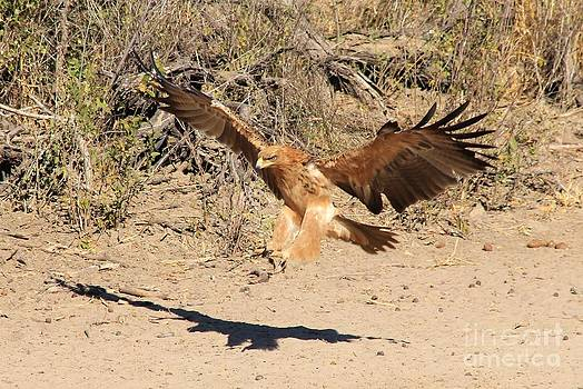 Hermanus A Alberts - Tawny Eagle - Flight of Feathers