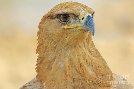 Hermanus A Alberts - Tawny Eagle - Golden Edge