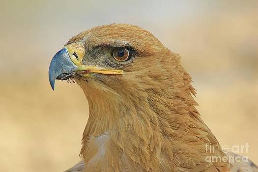 Hermanus A Alberts - Tawny Eagle - Look at me