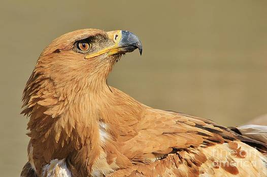 Hermanus A Alberts - Tawny Eagle - Power