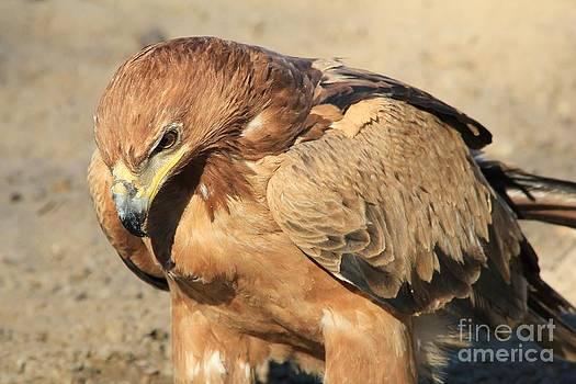 Hermanus A Alberts - Tawny Eagle - Serious Stare