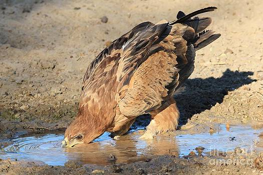Hermanus A Alberts - Tawny Eagle - Thirst Quench