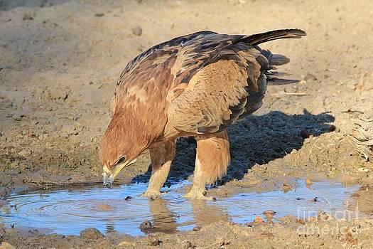 Hermanus A Alberts - Tawny Eagle - Water Study