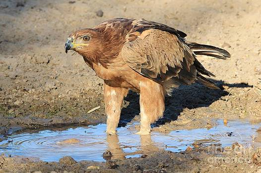 Hermanus A Alberts - Tawny Eagle Focus