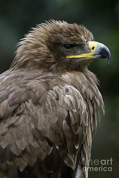 Heiko Koehrer-Wagner - Tawny Eagle