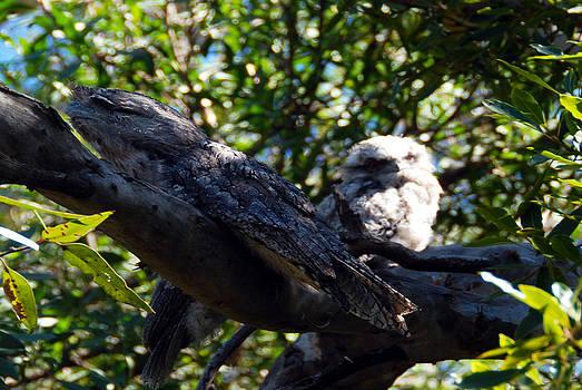 Tawny Frog Mouths Owl by Glen Johnson