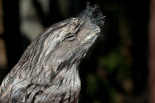 Tawny Frogmouth by April Wietrecki Green