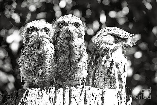Tawny Frogmouths by David Benson