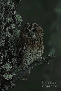 Tawny Owl by Diane Kurtz