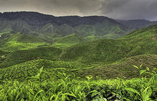 Tea Farm by Mario Legaspi