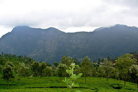 Mangala - Tea Fields in the Mountains
