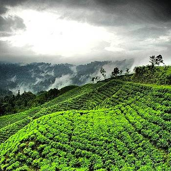 Tea Garden #tea #landscape #nature by Dani Daniar