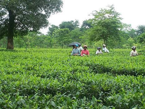Tea Trees by Juna Dutta