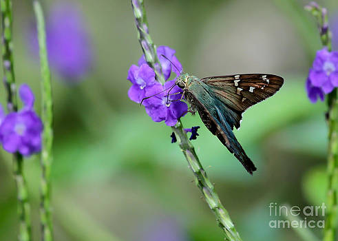 Teal Long Tailed Skipper Butterfly by Sabrina L Ryan