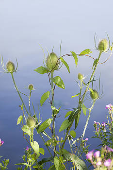 Teasels by Gillian Dernie