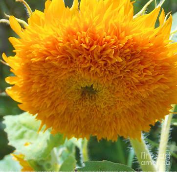 Teddy Bear Sunflower by Annette Allman