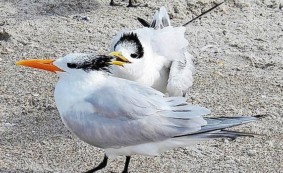 Judy Via-Wolff - Telling Secrets Royal Terns