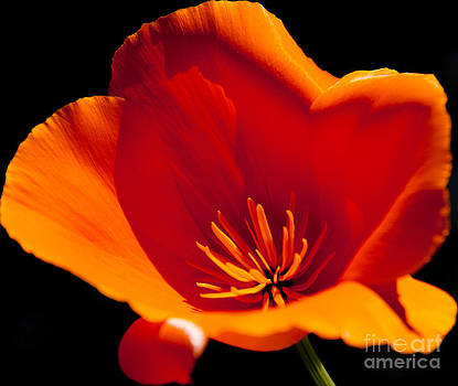 Tender Poppy by Charys Photography