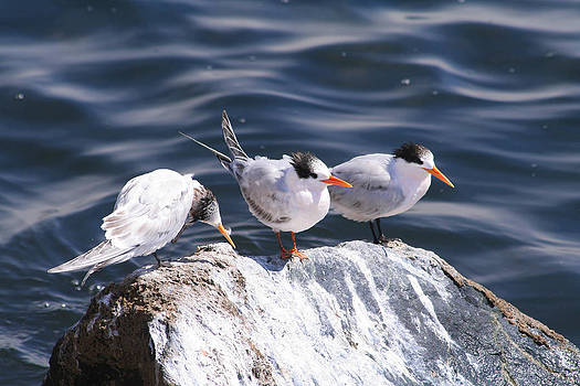 Tern Amigos by Bob and Jan Shriner