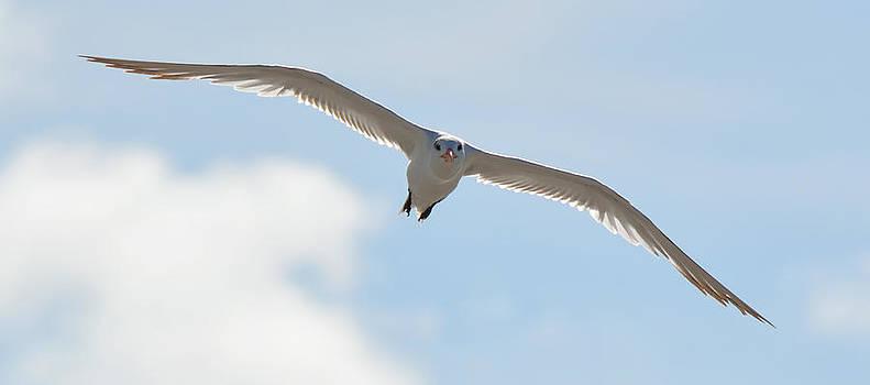 Patricia Twardzik - Tern in Flight