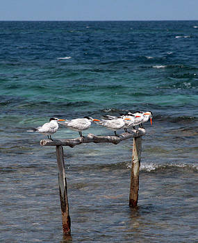 Terns Together by Laurie Poetschke