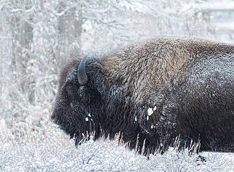 Nathan Mccreery - Teton Bison