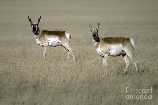 Tim Moore - Texas Antelope