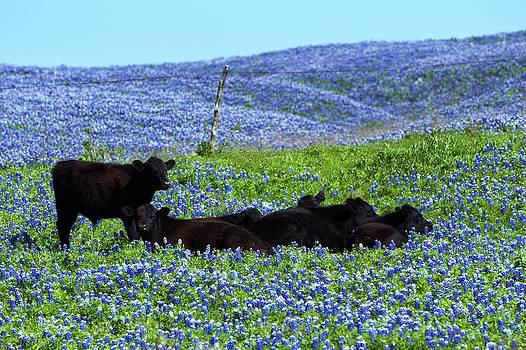 Texas Bluebonnet Babies by Elizabeth Hart