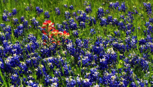 Texas Bluebonnets by Elizabeth Hart