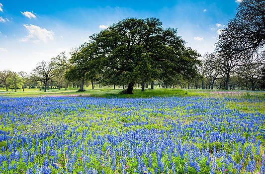 Texas Bluebonnets by Shey Stitt