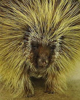 Texas Brown Porcupine by Cherie Haines