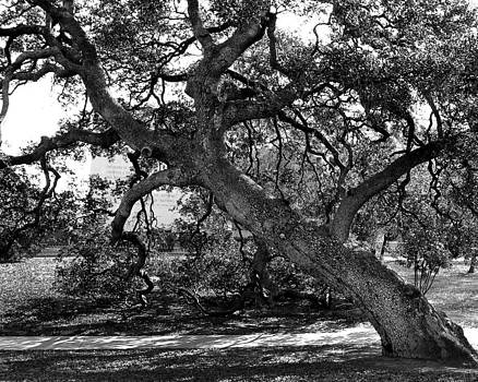Texas capitol Tree by Jerry Cook