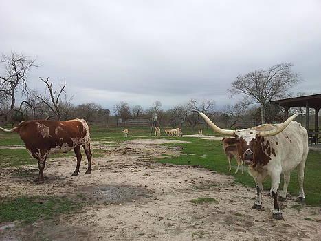 Texas Longhorns by Shawn Marlow