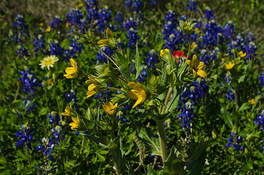Texas Wildflowers by Kelly Kitchens