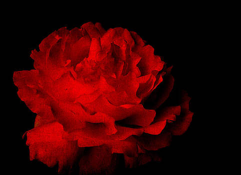 Textured red rose isolated on black by Kim M Smith