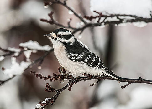 Lara Ellis - Thanksgiving Day Downy Woodpecker
