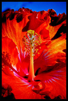 That Luscious Hibiscus by Susanne Still